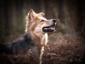 Beautiful rescue dog is a German Shepherd cross with a Saluki
