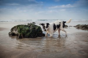 Rescue dog collie cross dog photographer christine Burke on holiday in Cornwall