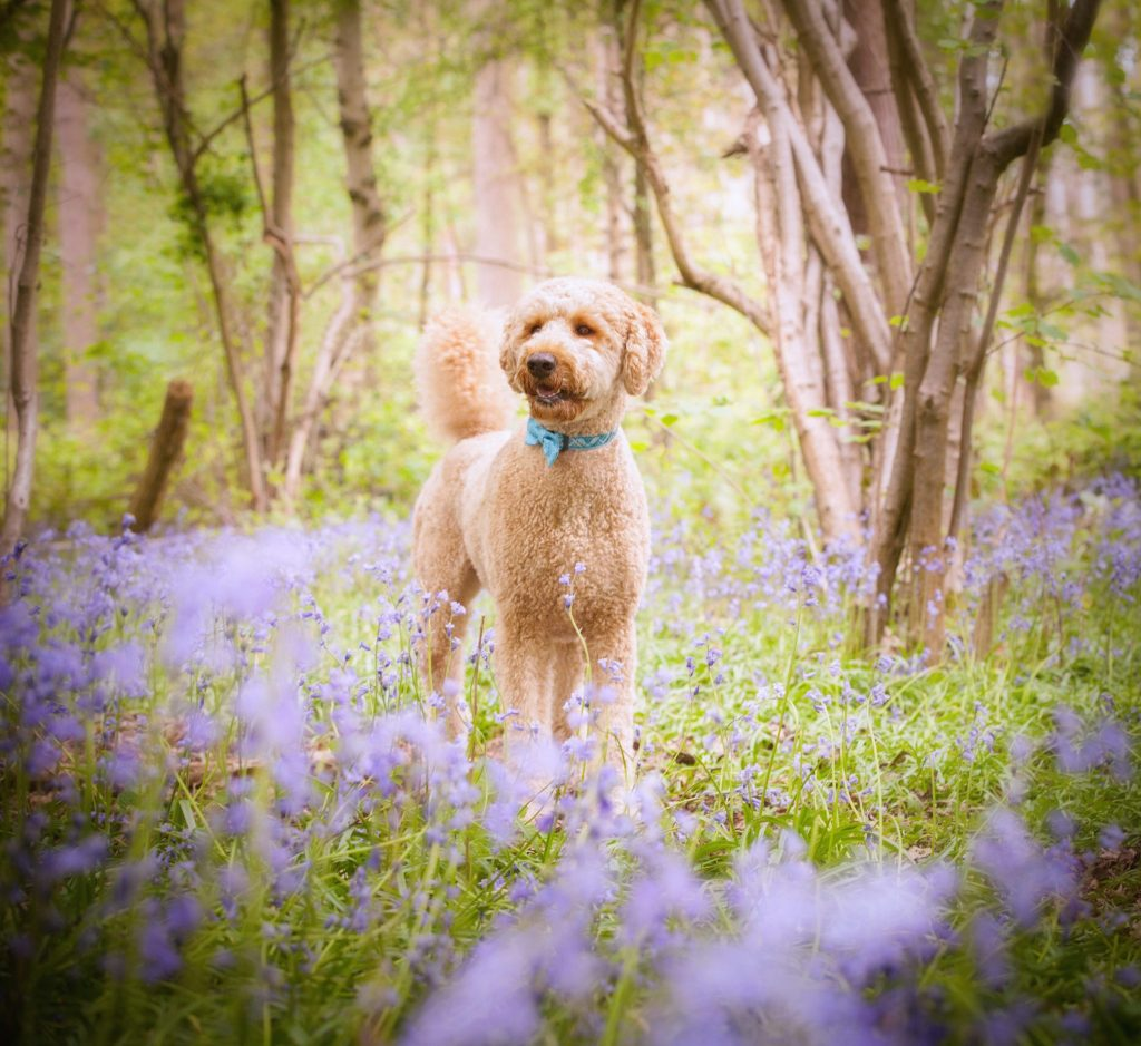 Bluebell photoshoot with a blonde Labradoodle