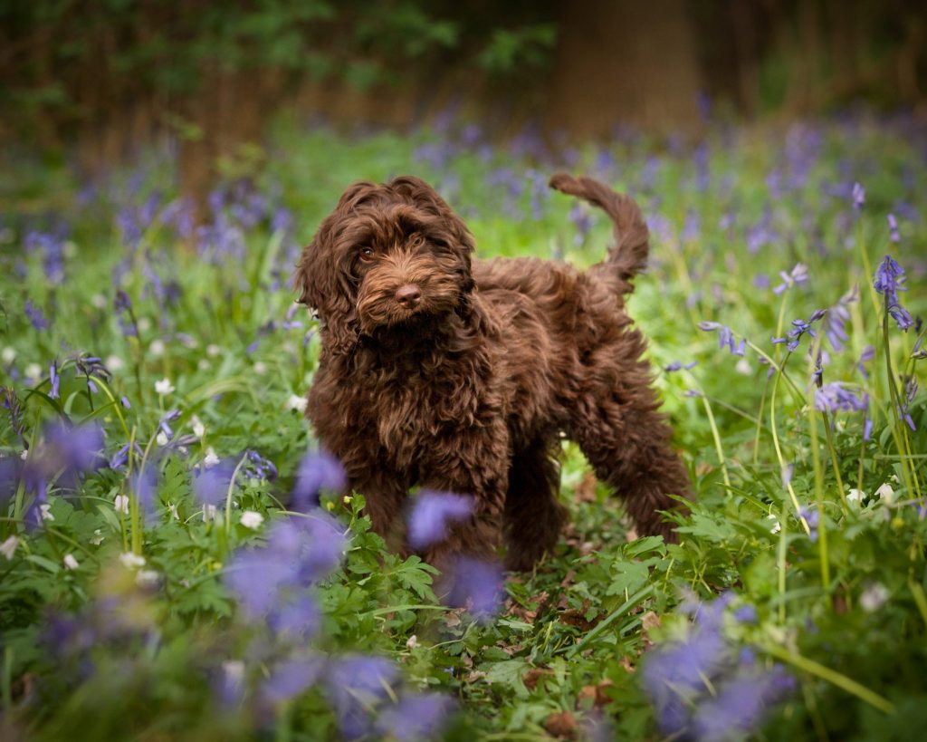 cockapoo location bluebell photoshoot